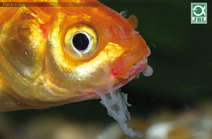 A halak parazitái: veszélyesek és biztonságosak az ember férgek számára