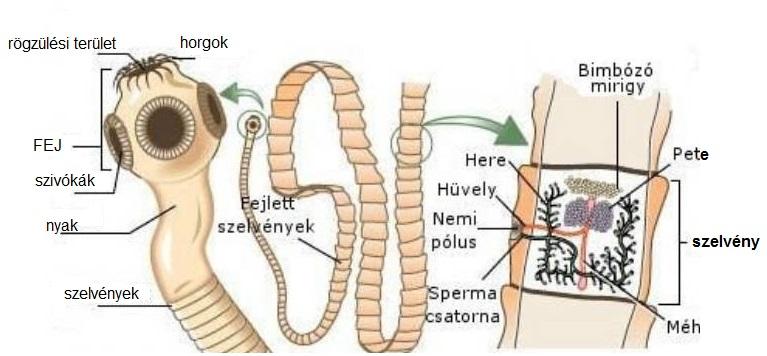nemathelminthes cacing reprodukció