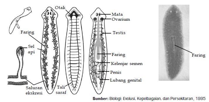 platyhelminthes turbellaria planaria ahol a Volgában eltávolítják a papillómákat