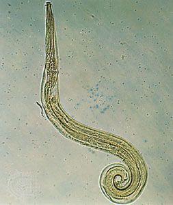 Pinworm vízben