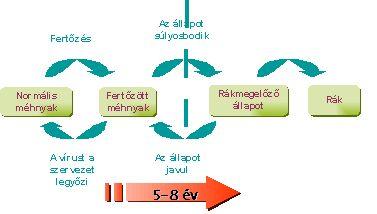 hpv vírus rák mechanizmusa)