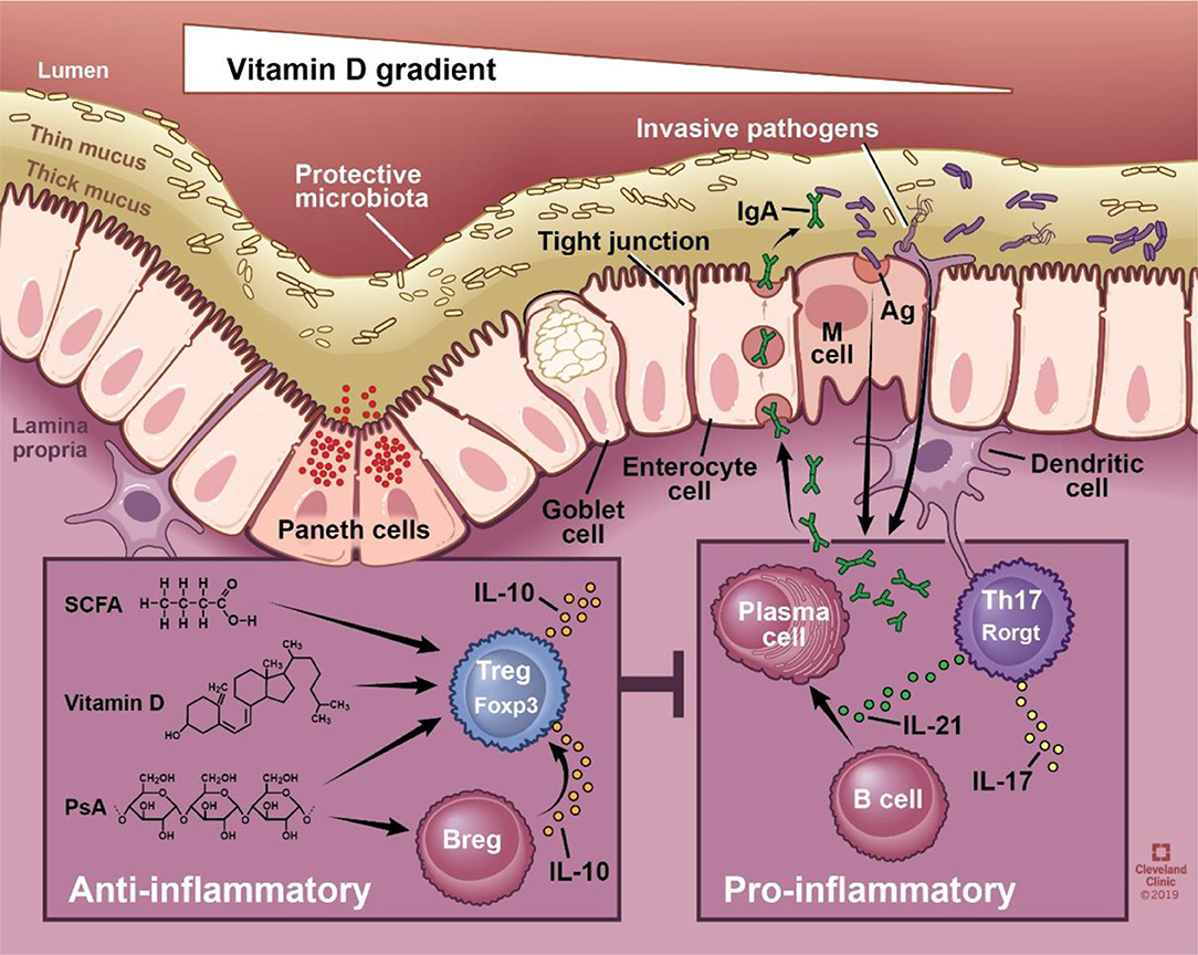 Bélbaktériumok, mint az immunrendszer segítői