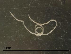 Gongylonema pulchrum paraziták. Parazita a csótányban