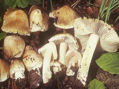 Gomba ábécé sorrendben. A gombák típusai és nevei képekkel
