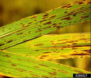 Helminthosporium sacchari - Penyakit helminthosporium oryzae