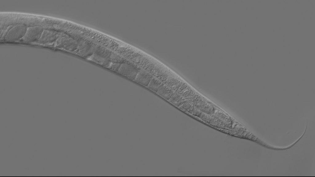 féreg fogalmát helminthosporiosis szervekben