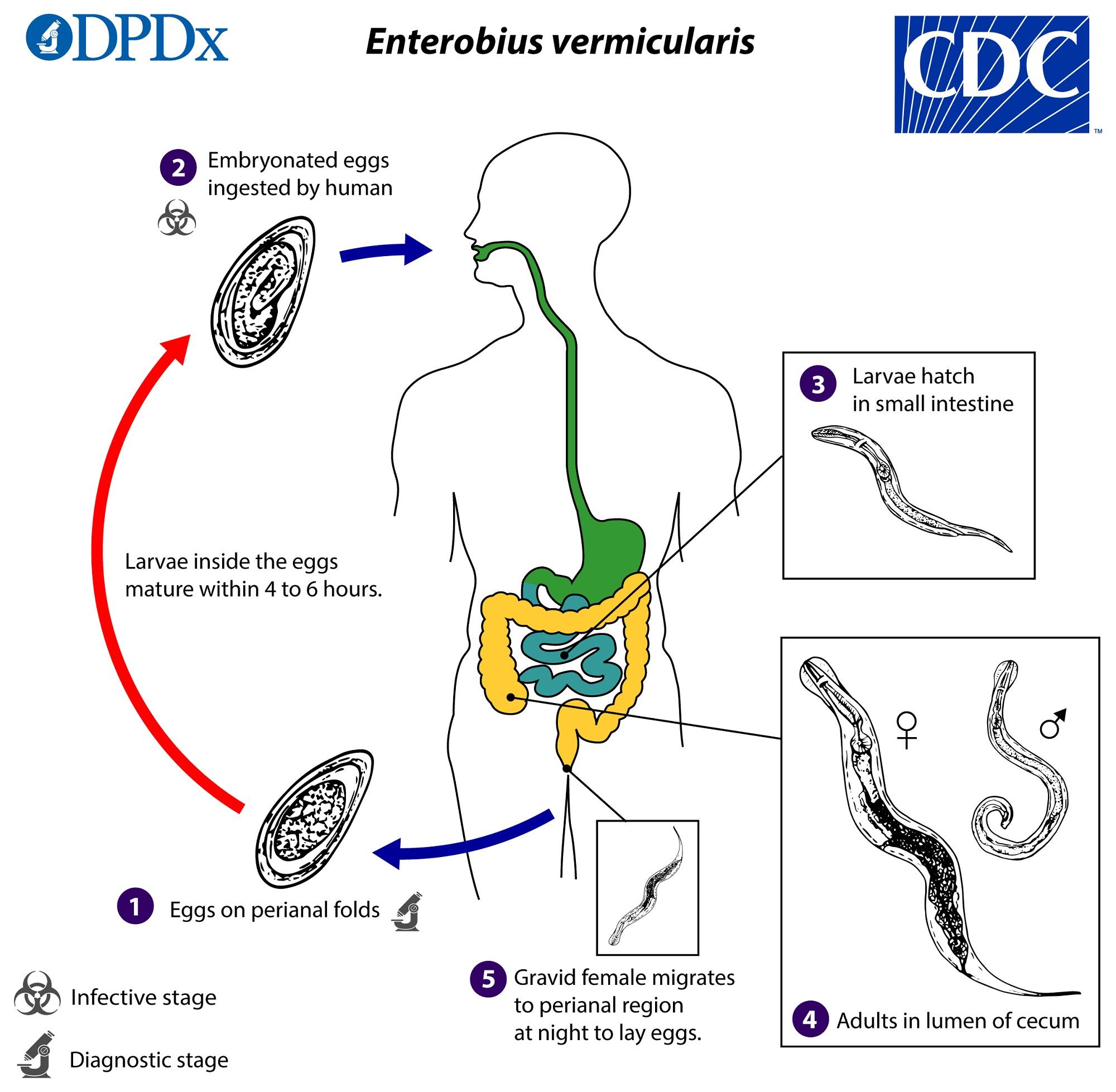 vagy féreg rotund enterobius vermicularis peték