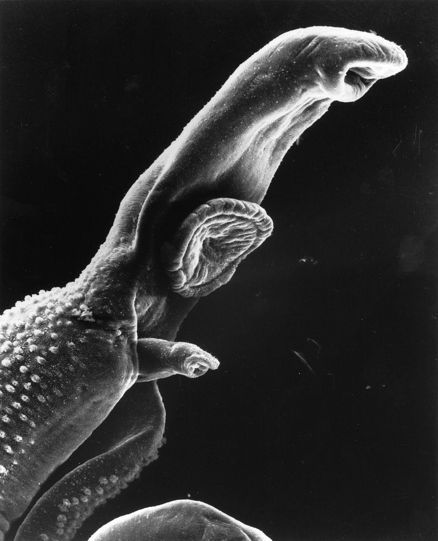parazita bilharzia humán papillomavírus 6. genom genom