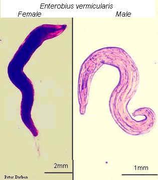 Paraziták és férgek fejlődési ciklusa - Pinworms morfológia