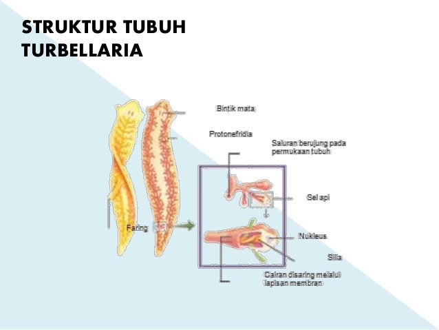 platyhelminthes turbellaria bipalium
