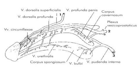 urethralis condyloma férfiaknál