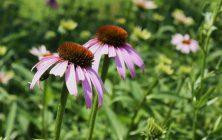 echinacea szemölcsök ellen egyél parazita tablettákat