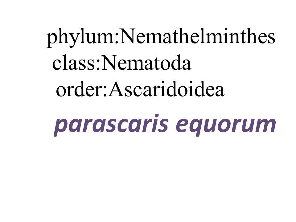 karacsonyi vers, Nemathelminthes ppt