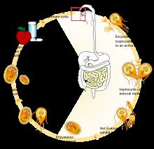a giardia étrendjéből való felépülés a gyermekek enterobiosisának gondozása