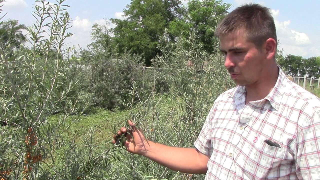 Homoktövis gyertyák pinworms, Gyertyák parazitáktól az emberi belekben