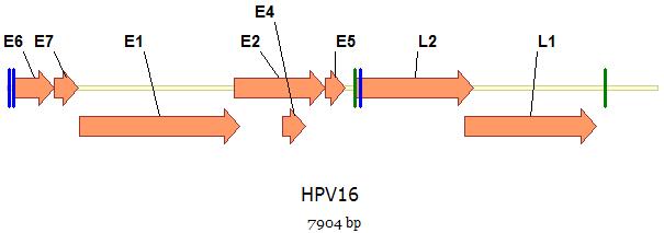 humán papillomavírus készlet