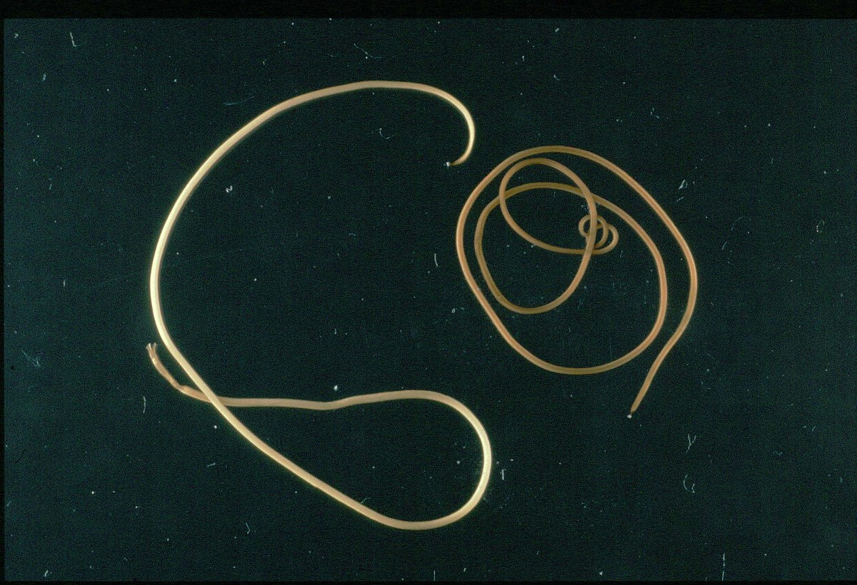 Klassifikasi nemathelminthes nematophora