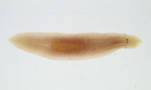 szorbens a férgek kezelésében