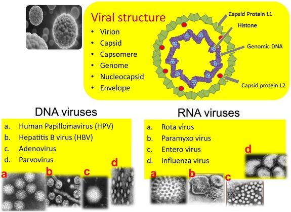 papilloma vírus a mell tüneteihez)