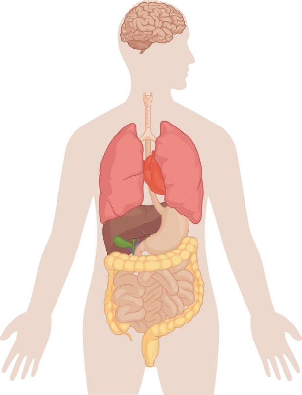 Környezetismeret - Az emberi test