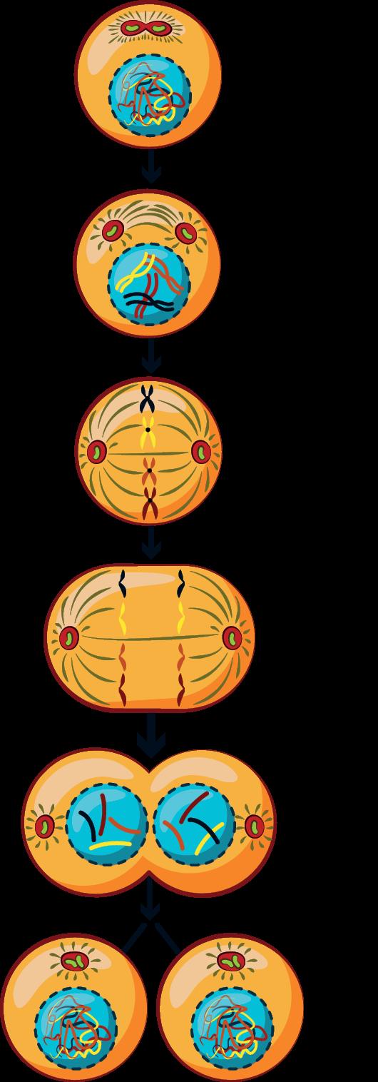 A sejtosztódás folyamata és a sejtciklus részei