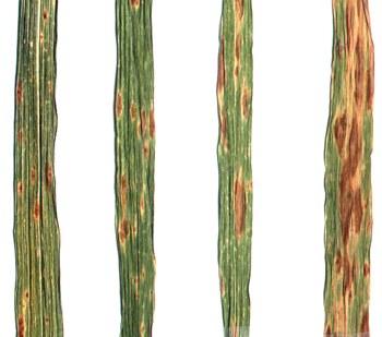 helminthosporium tritici repentis)