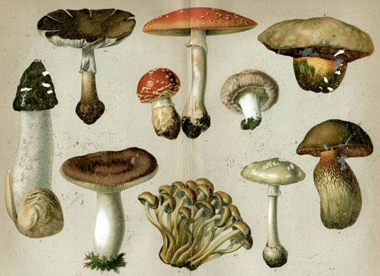 típusú ehető gombák rendszerek, amelyek megvédik a testet a parazitáktól