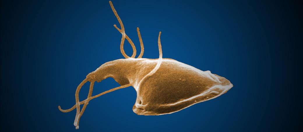 parazita kezelés giardia)