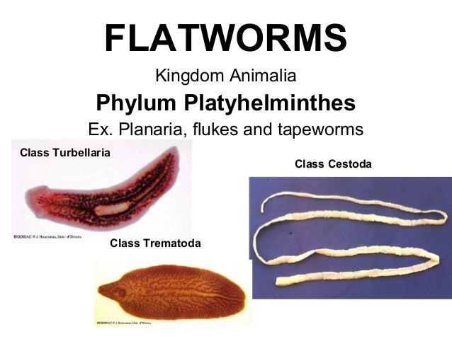 platyhelminthes turbellaria planaria