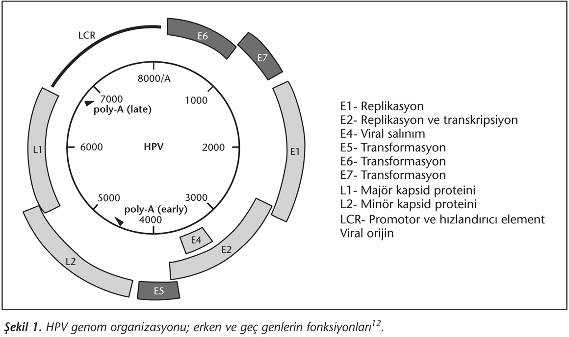 humán papillomavírus 6. genom genom)