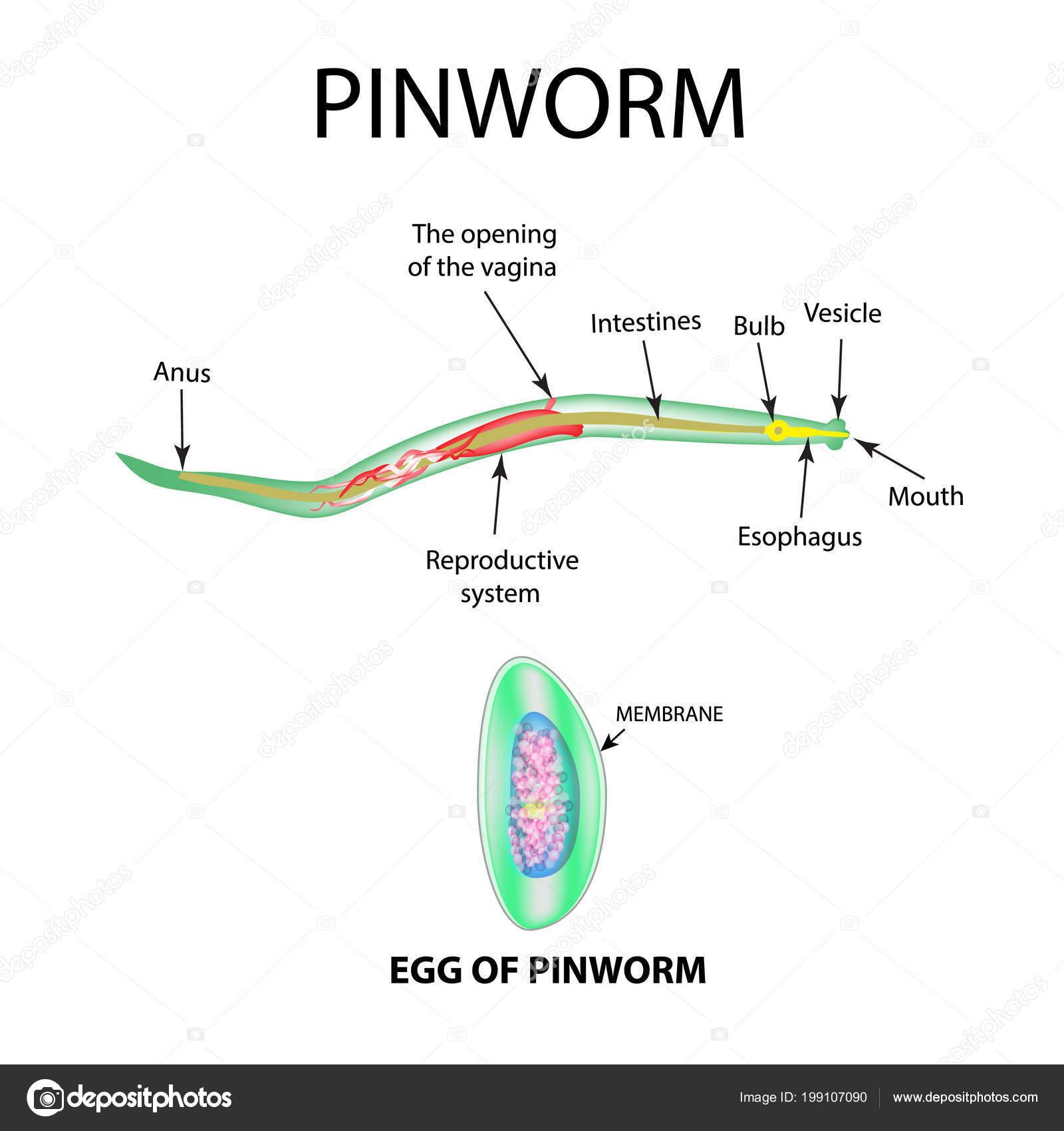 felnőtt pinwormok