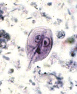 Giardia kat symptomer