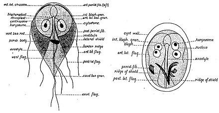 zoonózisos betegség giardia-ban)