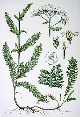 A gyógyítás ősi gyógynövénye: cickafark   Gyógyszer Nélkül