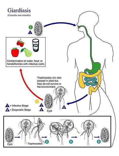 a cryptosporidium és a giardia tünetei