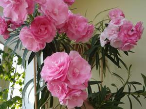 rózsaszínű babér toxin)
