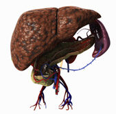Májrák – az ötödik leggyakoribb daganattípus a világon