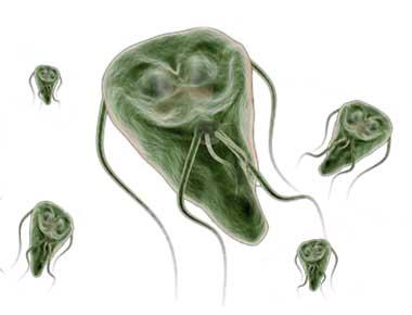 Giardien mensch homoopathie - Fertőtlenítőszer a giardiasis elleni küzdelemben ,lapos férgek