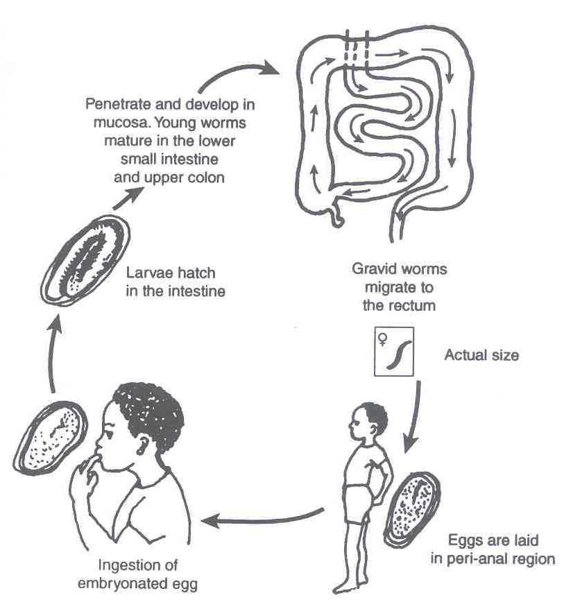 enterobius vermicularis kezelési dózis