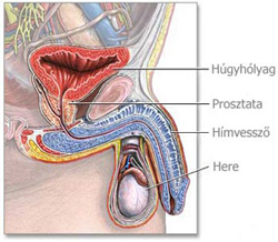 húgyhólyag papilloma patológia