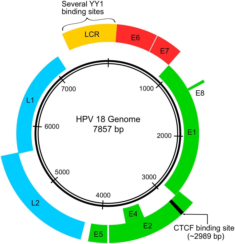humán papillomavírus 6. genom genom