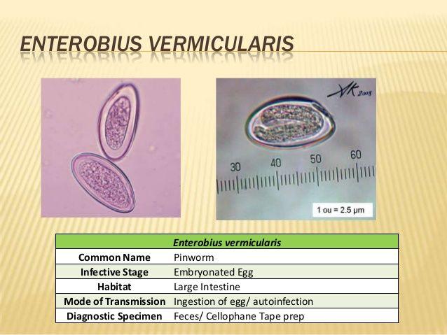 enterobius vermicularis ppt