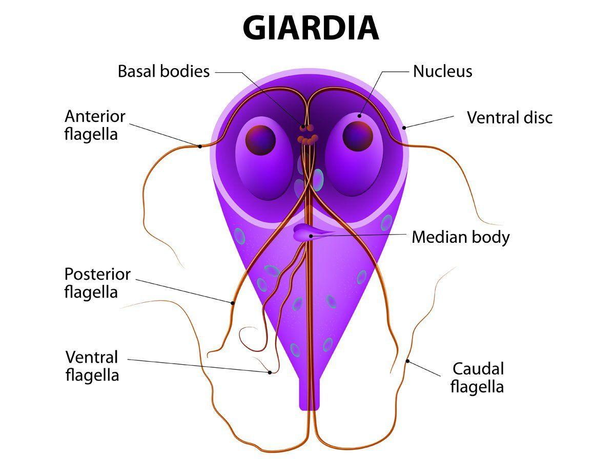 ez a giardia és a coccidia is