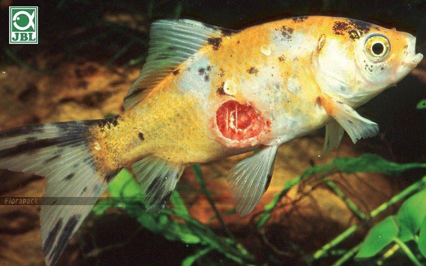 parazitákkal fertőzött halak 2020