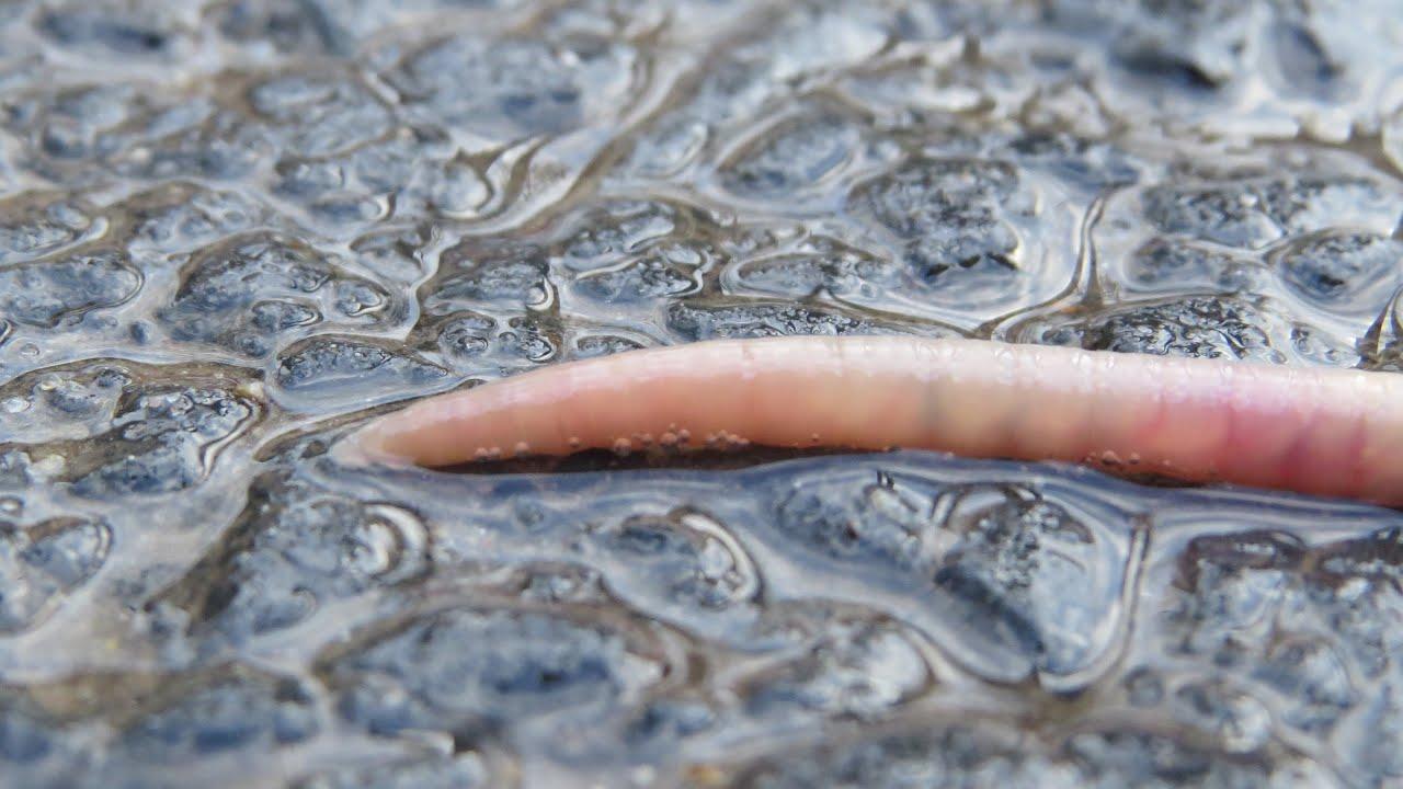 Melyik gyógyszer a féreg paraziták számára jobb. Mik azok a bélférgek?