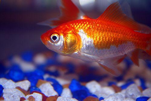halak parazitákkal történő forgalmazása)