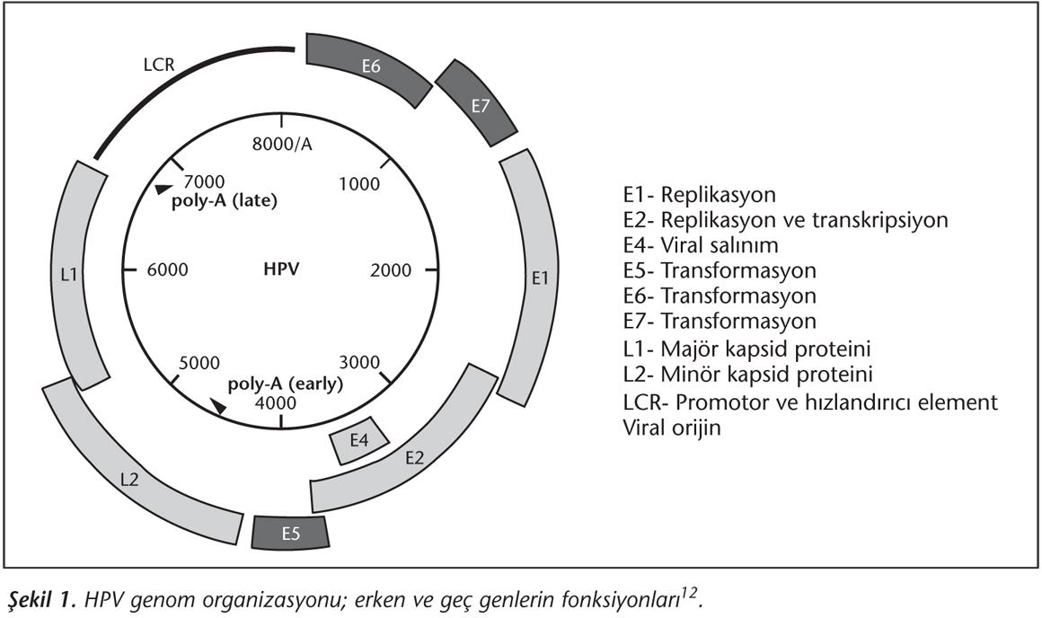 humán papillomavírus 6. genom genom férgek listája