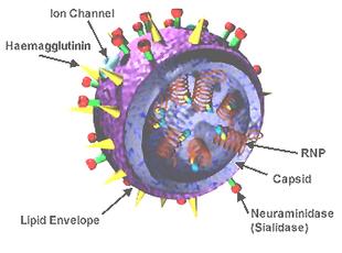 influenza vírus