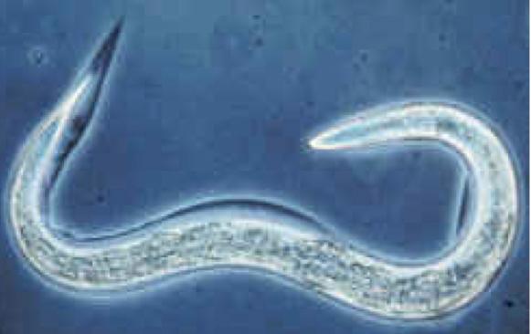helmintológiai boncolás a helminthiasis profilaktikus kezelése