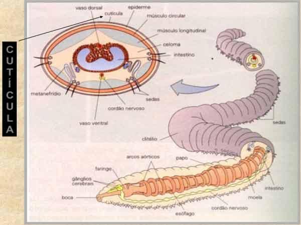 férgek és férgek gyógymódjai paraziták 20 cm